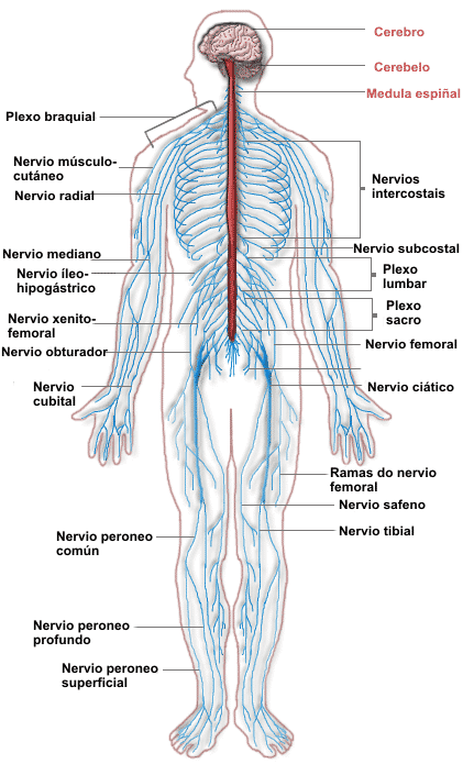 Nervous_system_diagram-1-_gal